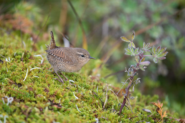 The Pribilof Islands race of Pacific Wren is larger and longer billed than most other races.