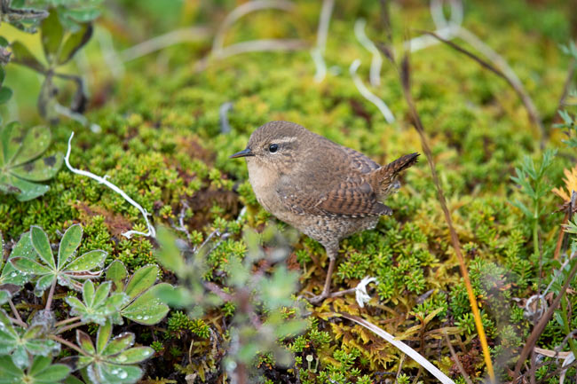 Many years Pacific Wrens can be hard to find on St. Paul Island as their numbers fluctuate greatly and they're subject to large die-offs during harsh winters. This year, however, we found them commonly in a number of locations.