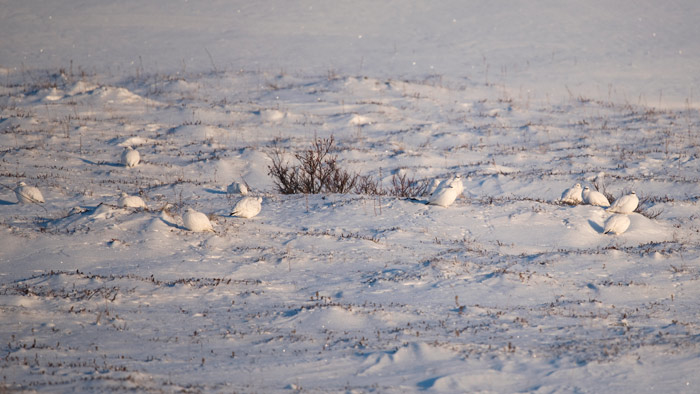 A flock of Rock Ptarmigan enjoys a beautiful winter day near Cape Nome. There were 37 ptarmigan in this flock, calling, feeding, and preening in the sun.