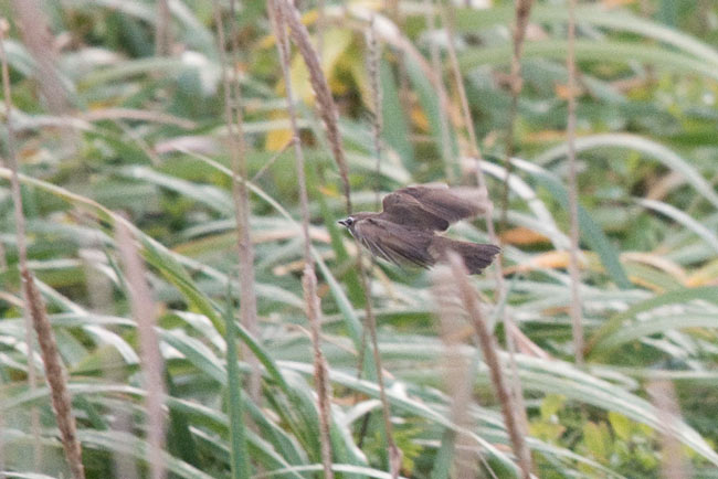 This very frustrating Siberian Rubythroat was difficult to get a look at as it flushed from close range in tall grass.