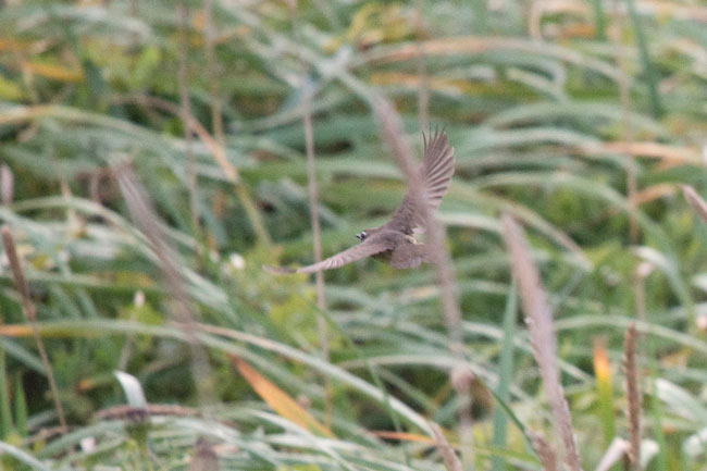 Another shot of the Siberian Rubythroat that was lurking in the tall grass near Big Lake.