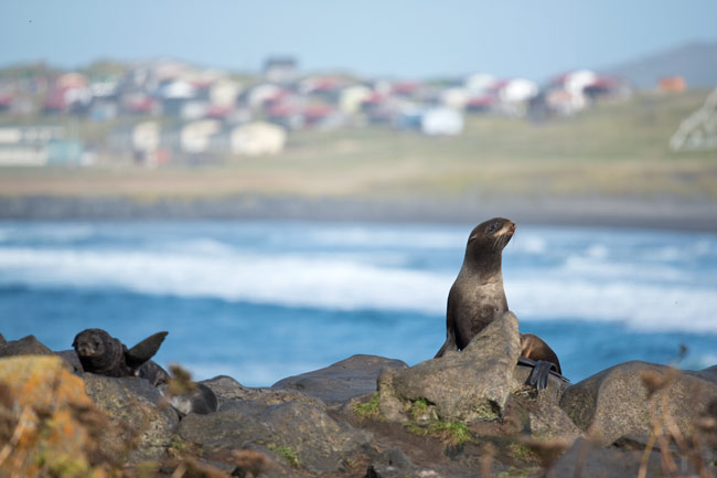A female northern fur seal poses in front of the town of St. Paul, Alaska.