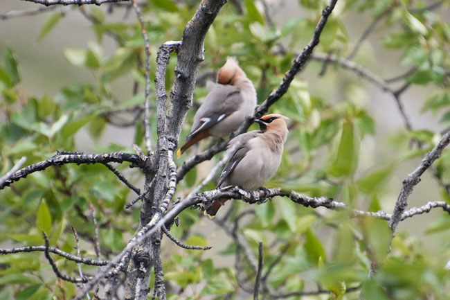 Bohemian Waxwings are rare along the river and not found on most of our trips into the north side of the Brooks Range. Here a pair checks out a cottonwood grove along the river.