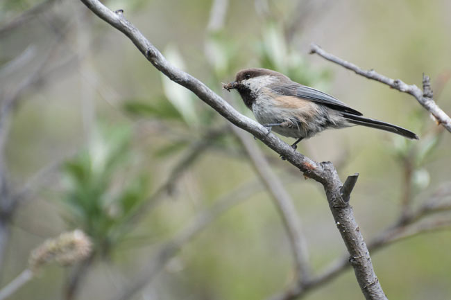 The Gray-headed Chickadee is identified by its pale gray upperparts, grayish-brown cap, large white-cheek patch and the ragged edges to its dark bib.