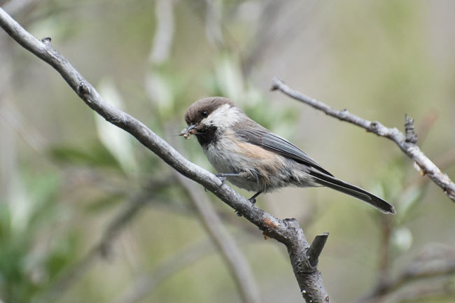 The focus of our quest, the Gray-headed Chickadee, is North America's most elusive songbird.