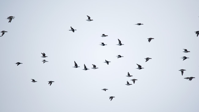 Large flocks of migrating Long-tailed Ducks are common in Barrow in early October.