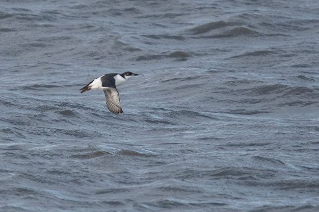 Another shot of the young Thick-billed Murre near the base of Point Barrow, Alaska.