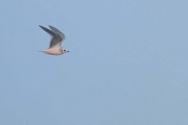 A Ross's Gull, universally loved by all, floats by our vantage along the Barrow waterfront.