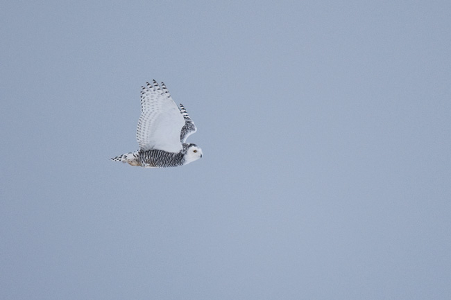 A young Snowy Owl cruises the tundra outside of Barrow.