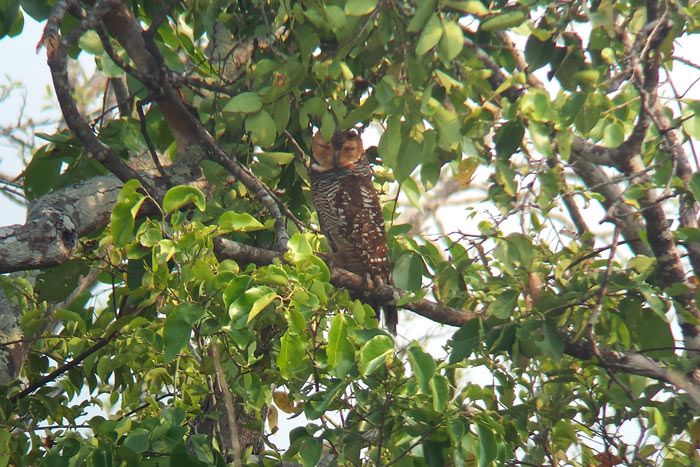 A Spotted Wood Owl at a roost site near Tmatboey, Cambodia. Photo Aaron Lang.