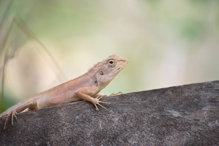 A small lizard takes a rests in the shade at Tmatboey, Cambodia. Photo Aaron Lang.