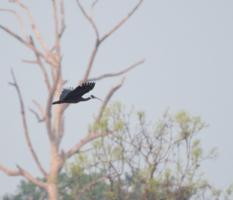 Birding Cambodia