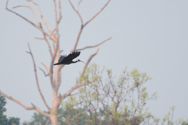 It is thought that Cambodia is home to 95% of the global population of the critically endangered White-shouldered Ibis. Photo Aaron Lang.