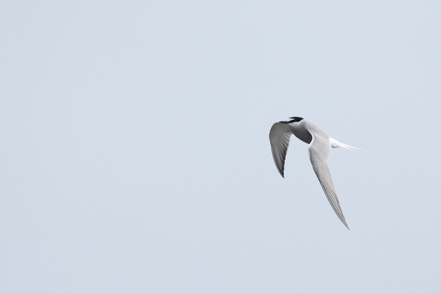 The bold white forehead and black bill stands out on this Aleutian Tern.