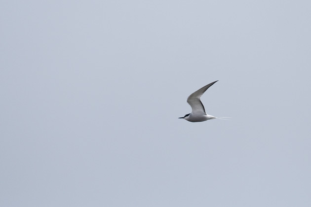 The dark trailing edge to the secondaries is a great mark for Aleutian Tern, even at a distance.
