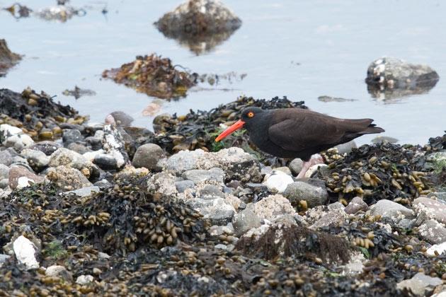 Black Oystercatcher, Clam Lagoon, Adak.