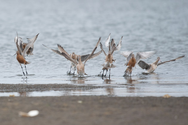 A flock of Bar-tailed Godwits stretch their wings after a long flight across the Pacific.