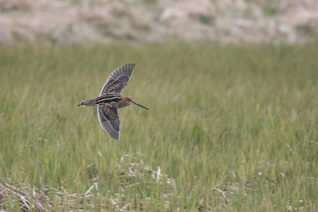 The white trailing edge to the wing averages slightly broader on a Common Snipe than on a Wilson's Snipe.