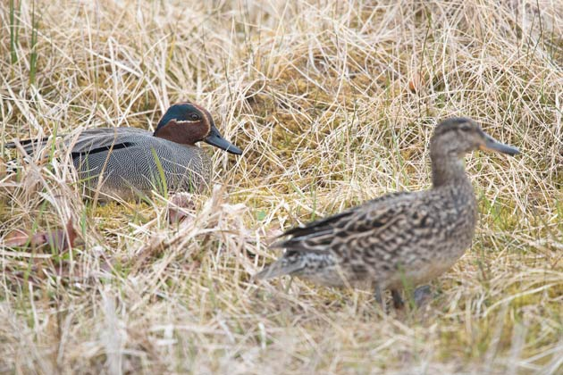 The Eurasian rae of Green-winged Teal, Anas crecca crecca, is the expected subspecies on Adak.