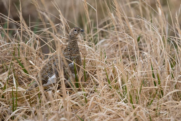 A female Rock Ptarmigan does its best to blend in.