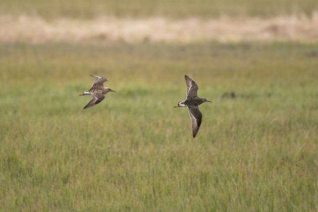 Two Ruffs fly into Contractor's Marsh, Adak.