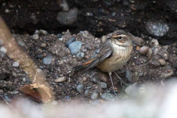 Bluethroats are regular spring and fall migrants on Saint Lawrence Island.