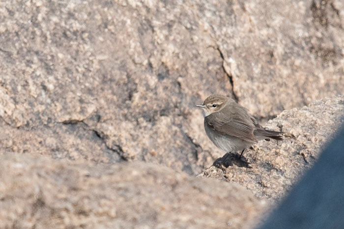 This Common Chiffchaff was the passerine highlight of the spring. It showed very well for our second group and is only the 7th North American record (six of them are from Gambell)!