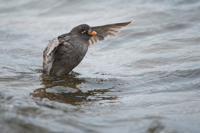 Crested Auklets are abundant breeding birds on Saint Lawrence Island.