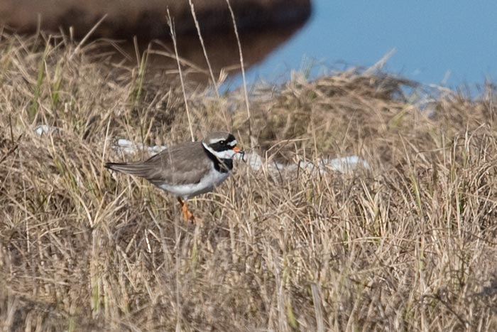 This Common Ringed-Plover is identified by it's bold white supercillium, lack of eye-ring, and blackish rear auriculars. It's also slightly larger than a Semipalmated Plover and has a more prominent wing stripe.