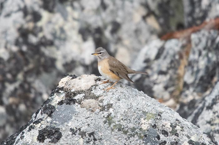 This Eye-browed Thrush spent several days along the mountainside and showed well for both of our groups.
