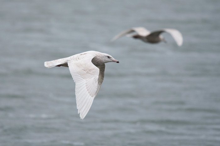 A young Glaucous Gull flys by the point.