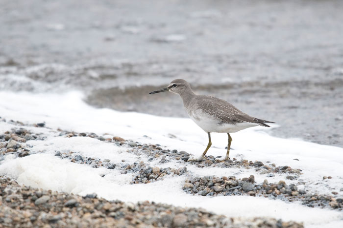 This Gray-tailed Tattler greeted our group just 15 minutes after their arrival at Gambell!