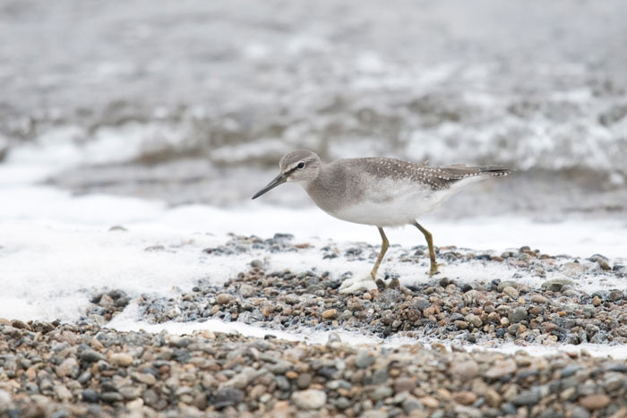 Juvenile Gray-tailed Tattlers are more heavily spotted above than juvenile Wandering Tattlers.