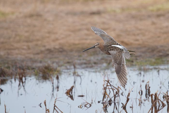 Long-billed Dowitchers are common migrants at Gambell.
