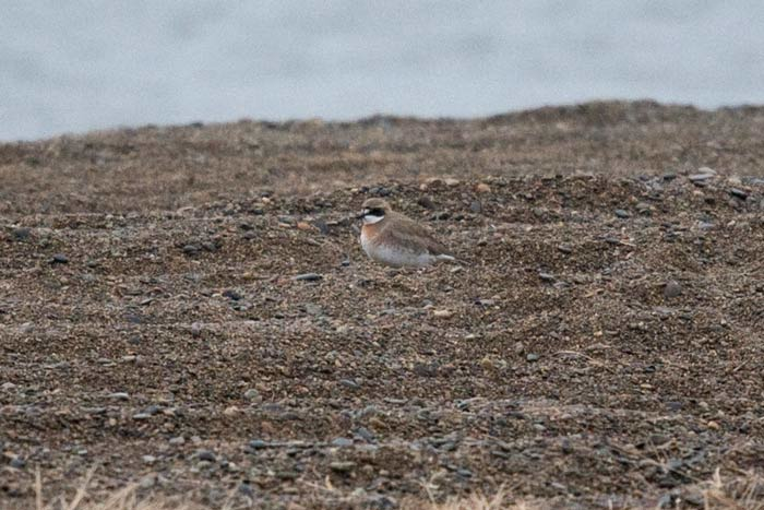 This Lesser Sand Plover dropped in just a few hours before our group arrived, but unfortunately didn't stay long enough to show for our group. Such is birding.