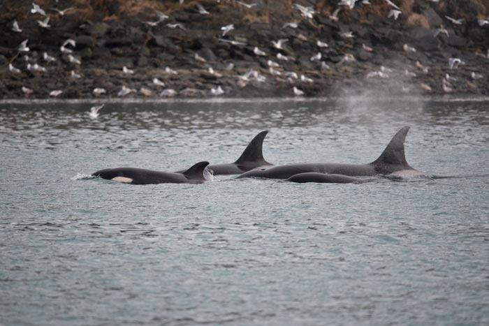 A pod of Orca's cruises the narrow channel in front of the Kodiak Harbor.