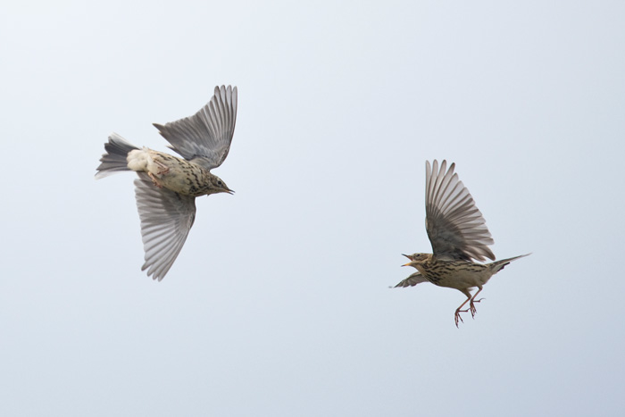 Red-throated Pipits are regular fall migrants at Gambell. Here two spar over a bit turf.