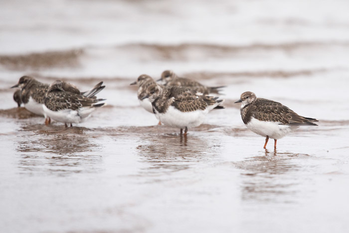 Juvenile Ruddy Turnstones gather on the north end of Troutman Lake at Gambell.