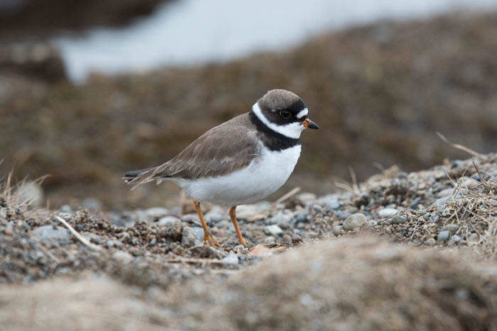 Semipalmated Plovers nest at Gambell, providing a great comparison if Common Ringed Plovers are around. Note the bold eyering, brownish rear auriculars, and lack of a white supercillium.
