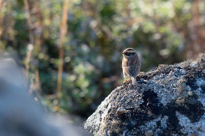 A Siberian Accentor looks quite at home on the rocks near the Far Boneyard.