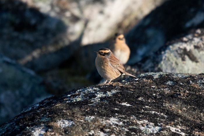 Two Siberian Accentors call on the rocks near the Far Boneyard at Gambell, St. Lawrence Island, Alaska.
