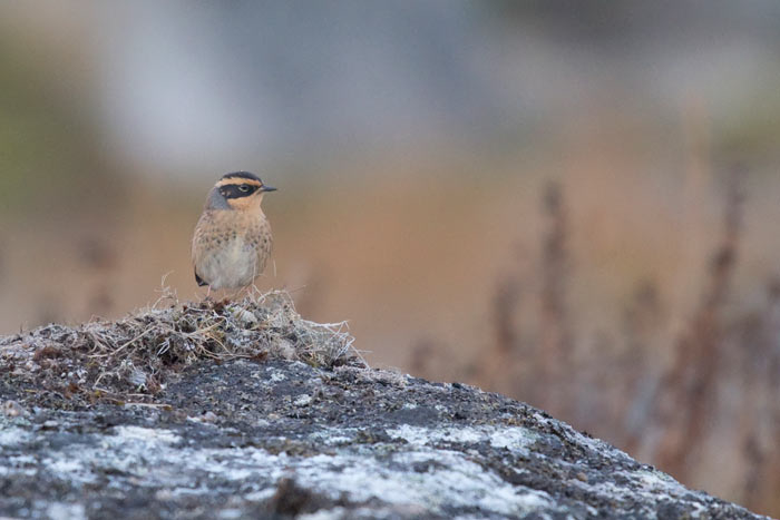 Siberian Accentors are not-quite-annual visitors to Gambell. This was one of two that we found on our recent tour.