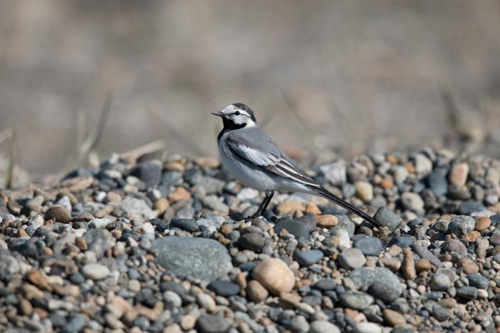 White Wagtails nest at Gambell. While generally flighty, with patience and a bit of luck you can manage excellent views of this classy bird.