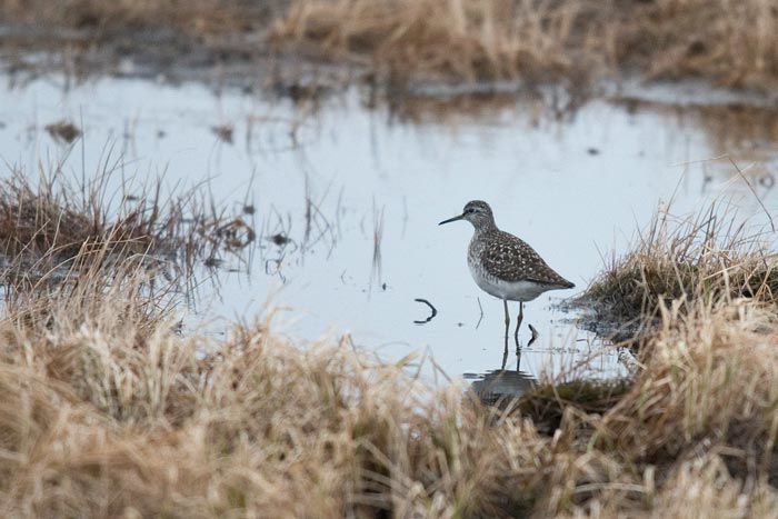 Wood Sandpipers are somewhat regular migrants at Gambell, but are not seen every year. Our first Gambell group saw several.