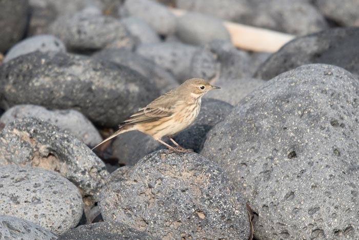 American Pipit is a regular fall migrant at St. Paul Island. This is