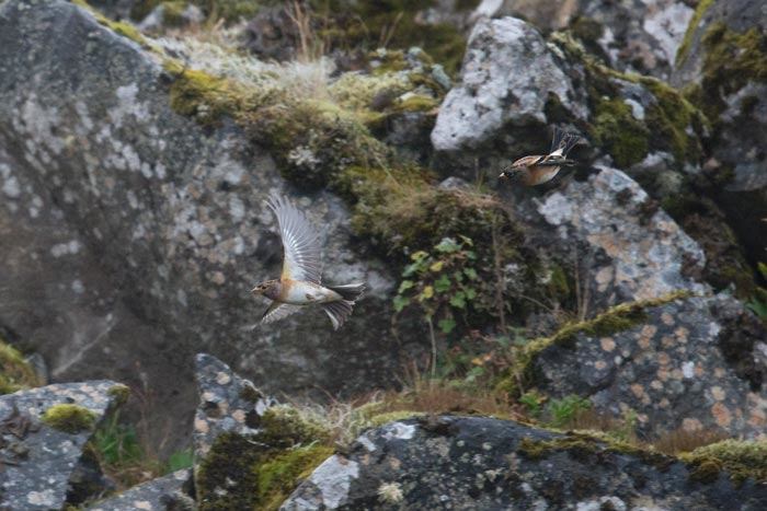 We saw a small flock of Brambling in the quarry on several days during our tour.