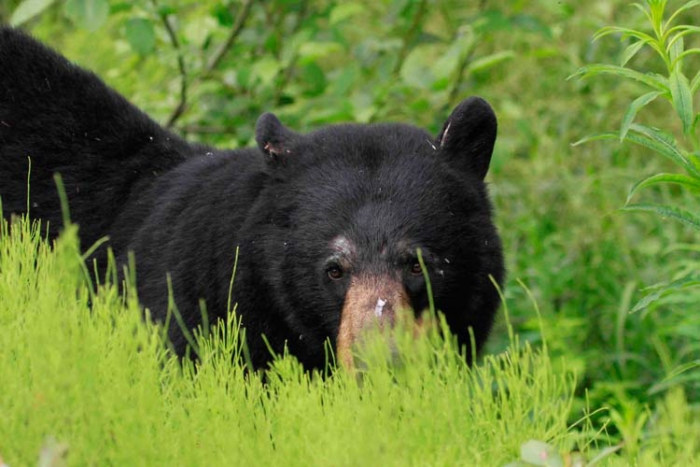 A black bear near Hyder, Alaska. Photo Steve Heinl.
