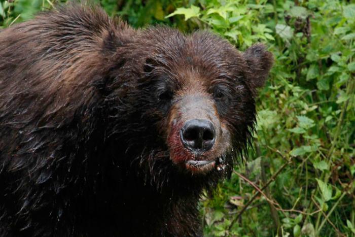 A brown bear feasts on Salmon near Hyder. Photo Steve Heinl.