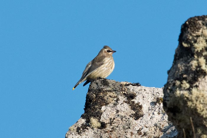 By far the rarest bird of our trip was a pair of hatch-year Cedar Waxwings--the first record for the Bering Sea!