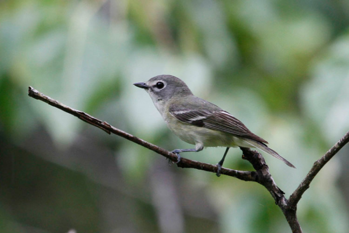 Unlike the more common Warbling Vireo, Cassin's Vireos are not found every year at Hyder. Photo Steve Heinl.